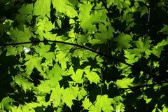 Folhas da árvore de bordo de Noruega com o sol que ilumina completamente imagens de stock