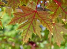 Folhas da árvore de bordo vermelho Fotos de Stock