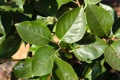 Folhas da árvore de caqui imagens de stock royalty free