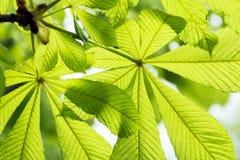 Folhas da árvore de castanha Imagem de Stock
