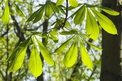 Folhas da árvore de castanha do cavalo no sunligh da manhã, DOFt raso, foco seletivo Imagem de Stock Royalty Free