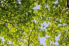 Folhas da árvore de Ceiba Fotos de Stock Royalty Free