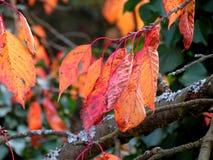 Folhas da árvore de cereja Imagem de Stock Royalty Free
