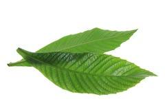 Folhas da árvore de cinza Fotografia de Stock