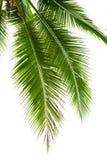 Folhas da árvore de coco isoladas no fundo branco Imagens de Stock