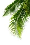 Folhas da árvore de coco isoladas no fundo branco Fotos de Stock Royalty Free