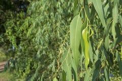 Folhas da árvore de eucalipto Fotografia de Stock