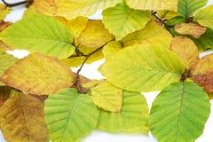 Folhas da árvore de faia Foto de Stock