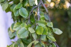 Folhas da árvore de faia do pendula do silvatica do fagus imagem de stock royalty free
