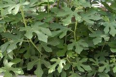 Folhas da árvore de figo imagens de stock