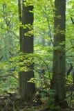 Folhas da árvore de Linden iluminadas Imagens de Stock