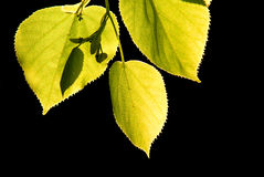 Folhas da árvore de Linden leves pelo sol isolado no preto Imagem de Stock