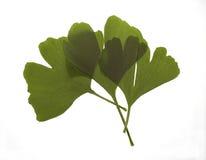 Folhas da árvore de Maidenhair Imagens de Stock Royalty Free