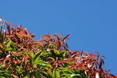Folhas da árvore de manga Fotos de Stock