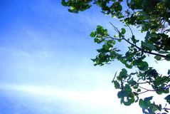 Folhas da árvore de mangustão, céu azul Imagem de Stock