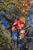 Folhas da árvore de Mapple Imagens de Stock