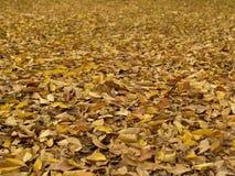 Folhas da árvore de olmo na terra Foto de Stock Royalty Free