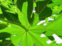 Folhas da árvore de papaia Foto de Stock