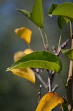 Folhas da árvore de pera Imagens de Stock