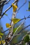 Folhas da árvore de pera Imagens de Stock Royalty Free