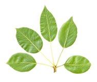 Folhas da árvore de pera isoladas Fotografia de Stock