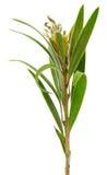 Folhas da árvore de salgueiro. Foto de Stock Royalty Free