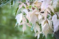 Folhas da árvore do albino Fotos de Stock