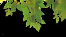 Folhas da árvore do canal alfa video estoque
