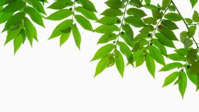 Folhas da árvore do doce Foto de Stock Royalty Free