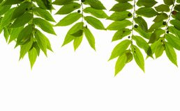 Folhas da árvore do doce Fotos de Stock