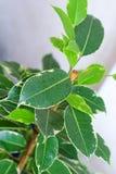 Folhas da árvore do ficus Imagens de Stock Royalty Free