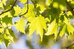 Folhas da árvore na natureza Imagens de Stock