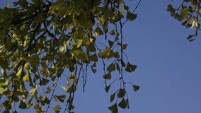 Folhas da árvore no biloba da nogueira-do-Japão do outono vídeos de arquivo