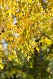 Folhas da árvore no outono Fotos de Stock Royalty Free