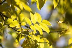 Folhas da árvore no outono Fotos de Stock