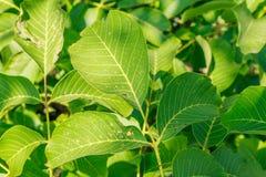 Folhas da árvore Nuts Imagem de Stock Royalty Free