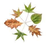 Folhas da árvore seca do jardim do outono isolada no fundo branco Fotografia de Stock Royalty Free