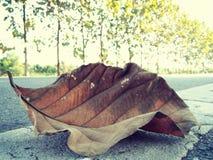 Folhas da árvore da teca na estrada Foto de Stock Royalty Free