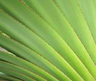 Folhas da agave Imagens de Stock Royalty Free