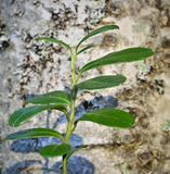 Folhas da airela. Fotografia de Stock