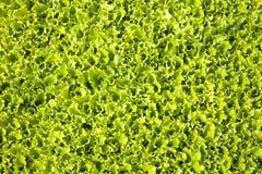 Folhas da alface Foto de Stock
