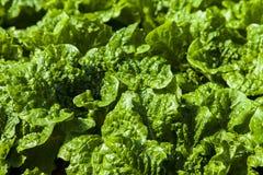 Folhas da alface Imagem de Stock