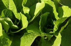 Folhas da alface Fotos de Stock Royalty Free