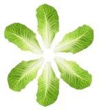 Folhas da alface de Cos Imagens de Stock
