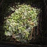 Folhas da alface em um montão do adubo Foto de Stock Royalty Free
