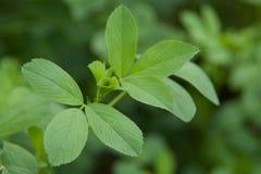 Folhas da alfafa Fotos de Stock