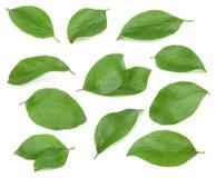 Folhas da ameixa isoladas no fundo branco Imagem de Stock Royalty Free