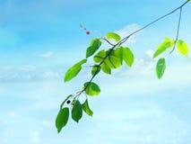 Folhas da amoreira de papel com fundo do céu azul imagens de stock