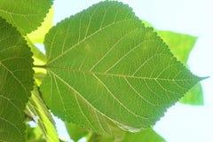 Folhas da amoreira ou ramo do Morus na árvore Fotos de Stock Royalty Free