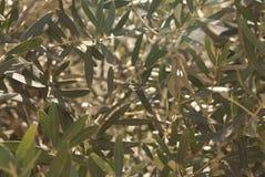 Folhas da azeitona Foto de Stock